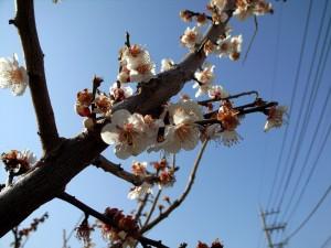 早春を告げる梅:月本たくや事務所近く